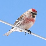 Common Redpoll Photo: Donna Allard