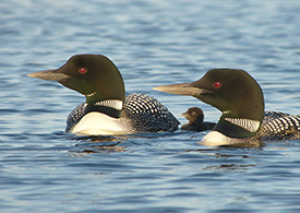 Common Loon, photo: Peter Ferguson