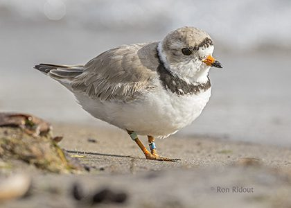 Endangered Piping Plover Pays a Visit
