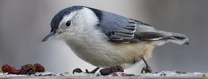White-breasted Nuthatch Credit Ric Hornsby