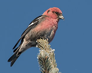First-season Results Come Alive in Saskatchewan Breeding Bird Atlas Maps