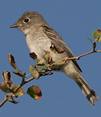 Least Flycatcher, Saskatchewan