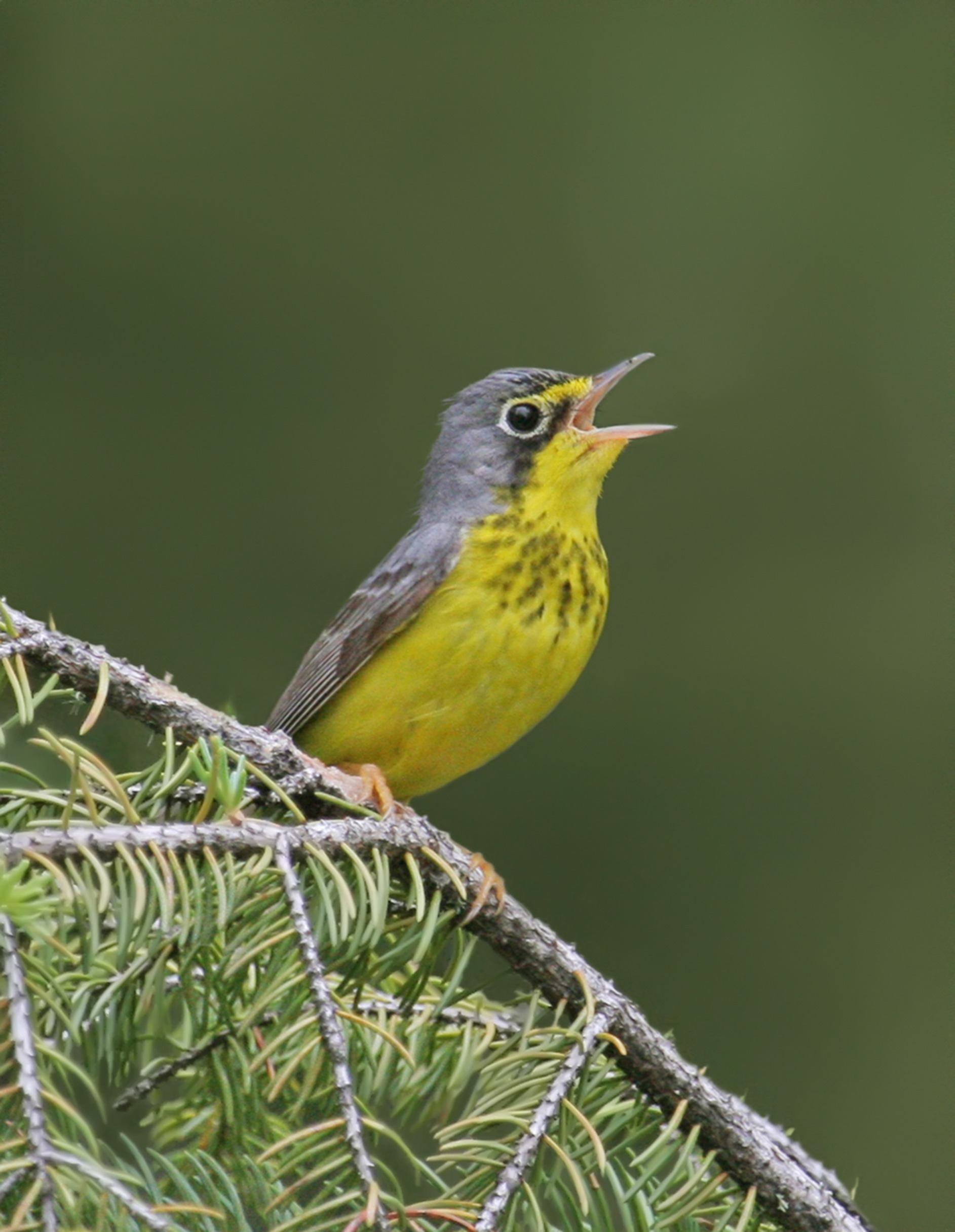 Canada Warbler singing from a branch.