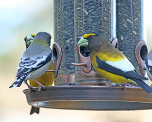 Why join Project FeederWatch? We've lost 1 in 4 birds since 1970