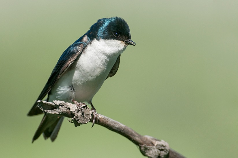 Male Tree Swallow perched in the sunlight