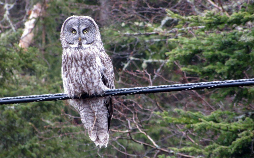 ON Owls