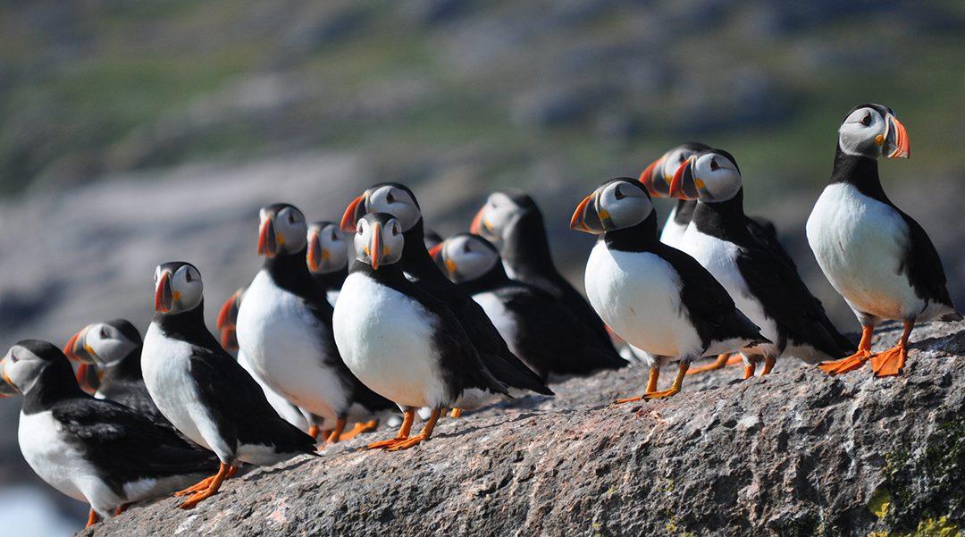 "Newfoundland's ""Backyard"" Breeding Bird Atlas Takes Flight"