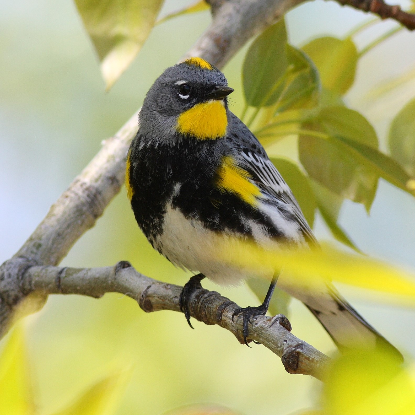 Yellow-rumped Warbler perched on branch. Link to BIRD IDENTIFICATION TOOL