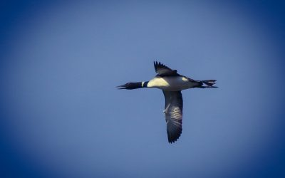 Fantastic Loons and Where to Find Them