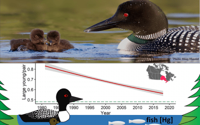 New study helps explain why loons are raising fewer chicks in Ontario