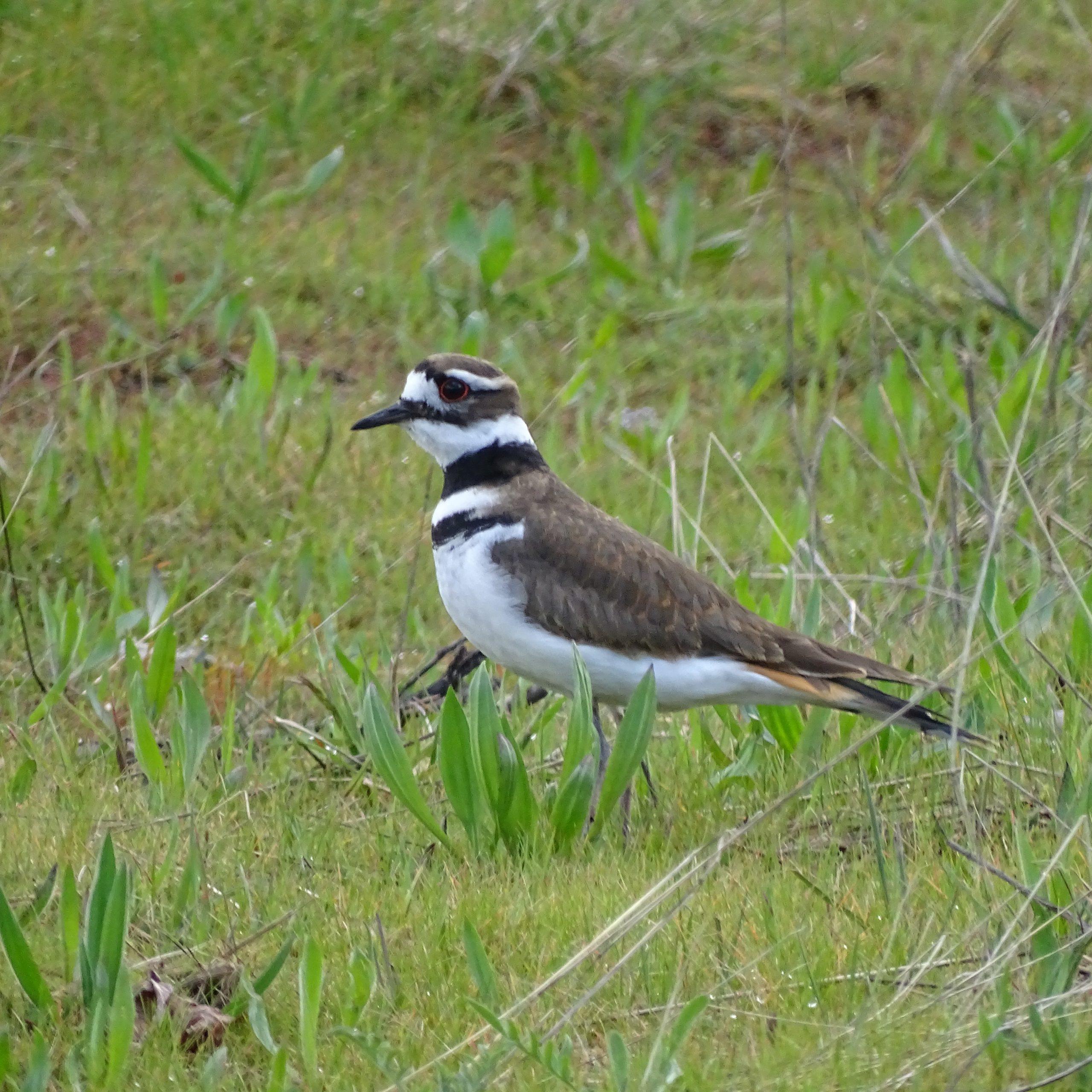 Citizen Scientists help us understand benefits of reduced traffic for birds at Esquimalt Lagoon