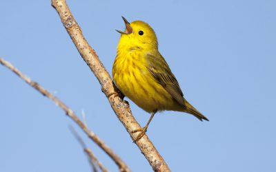 Birdability: Birding By Ear
