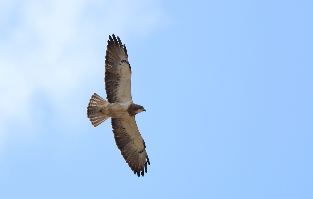 Getting our raptors in a row: unifying bird lists would help advance conservation