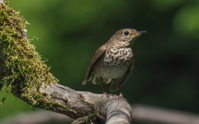 How many times does a Swainson's Thrush sing in one day? I decided to find out.