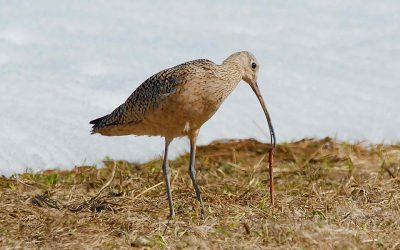 A curlew conservation community that cares