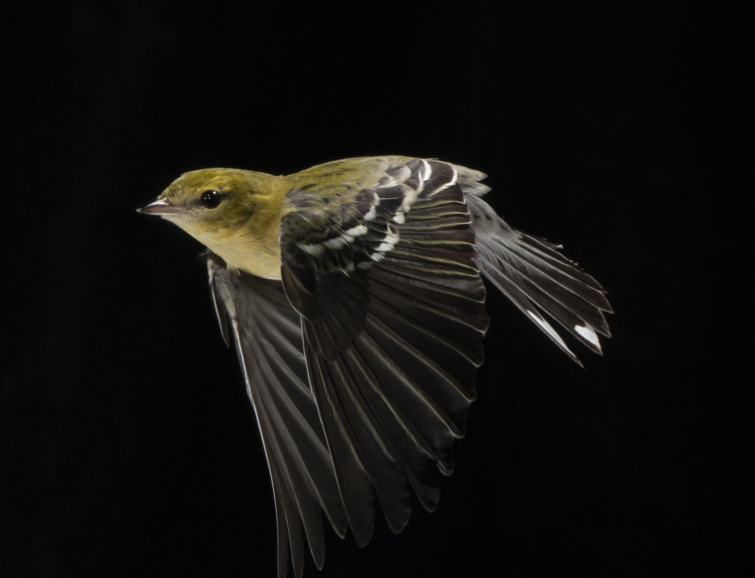 Bay-breasted Warbler in flight with a black background