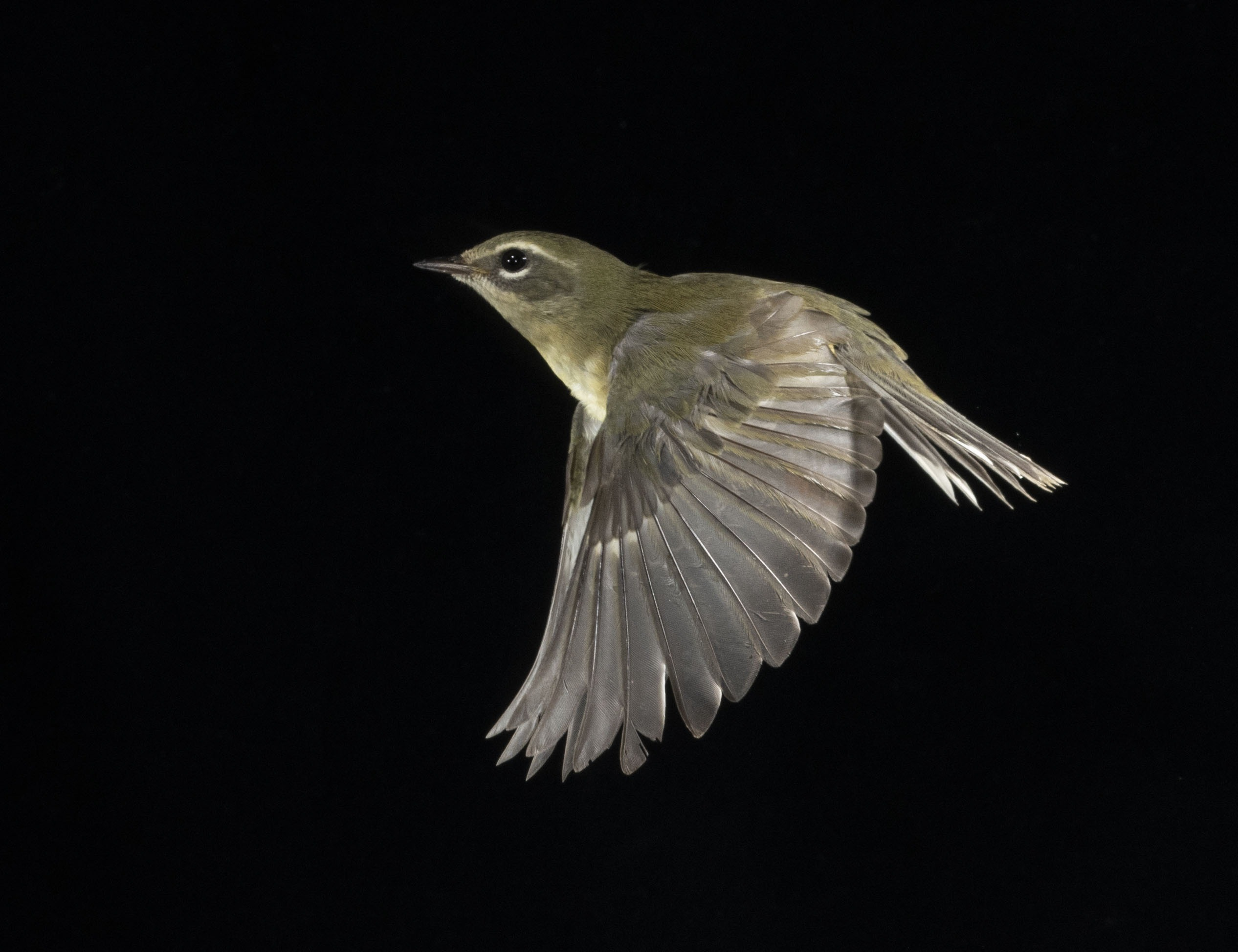 Black-throated Blue Warbler in flight with a black background