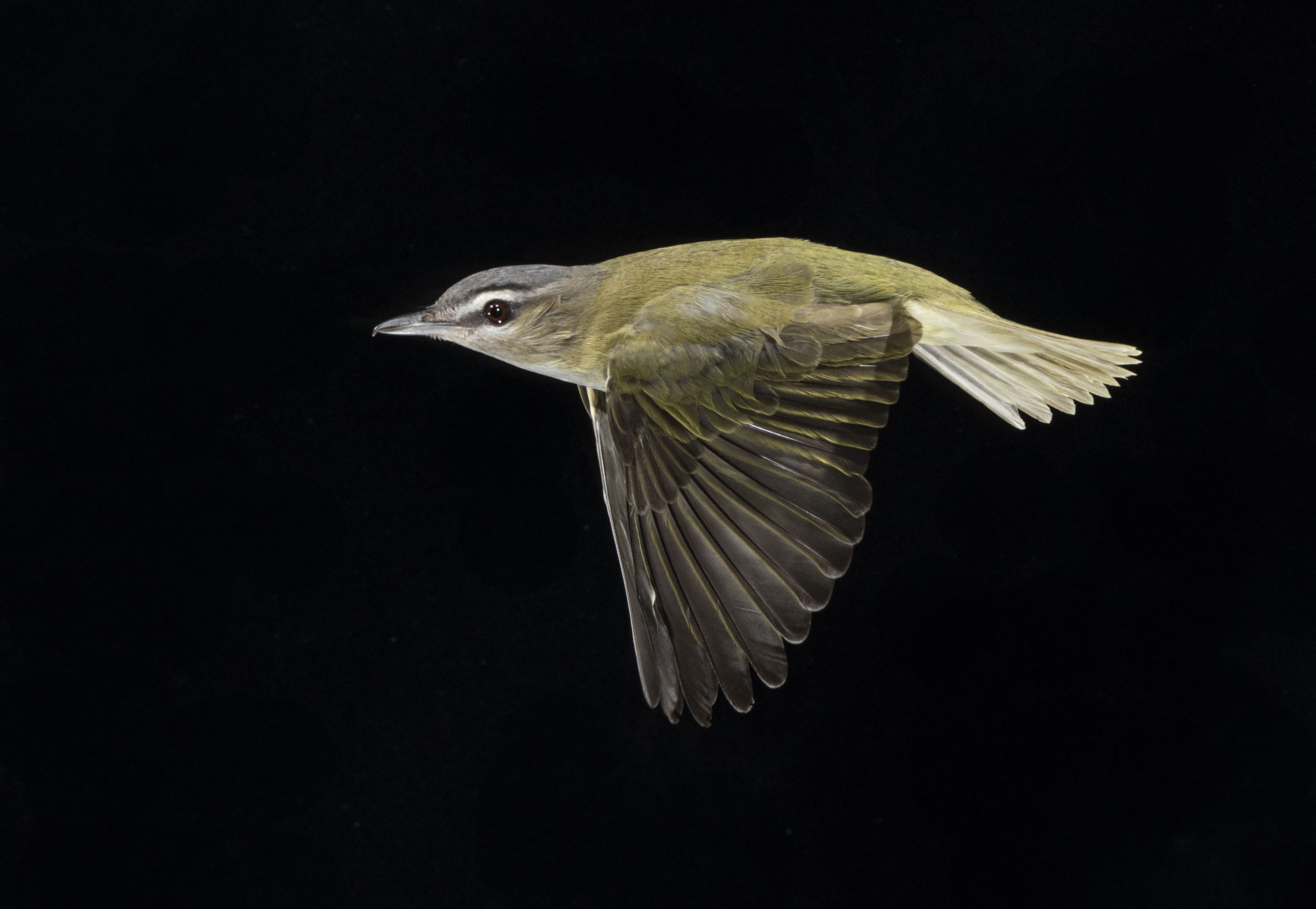 Red-eyed Vireo in flight in front of black background