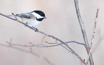 Important updates on the Christmas Bird Count and CBC4Kids