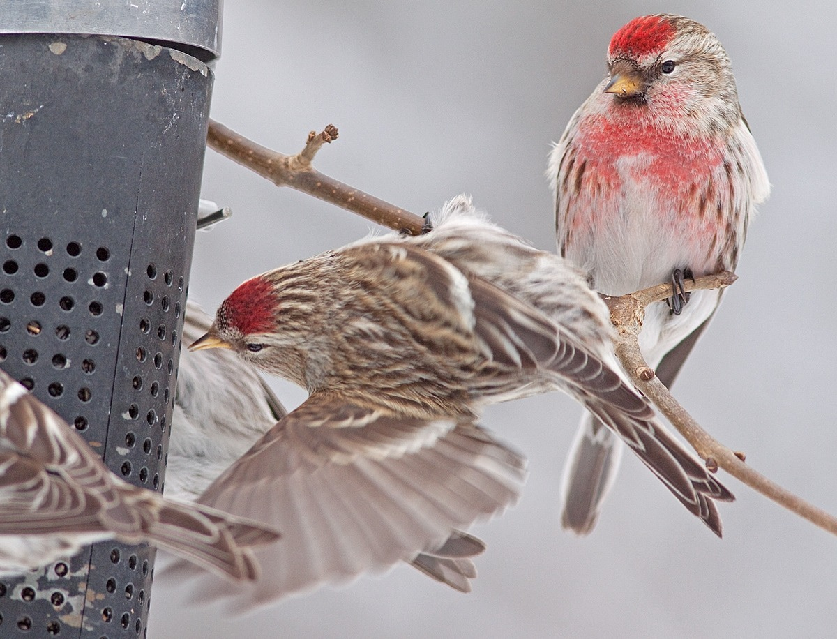 Common Redpolls at feeder