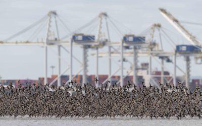 Speak up now – protect the Fraser Estuary for birds we love
