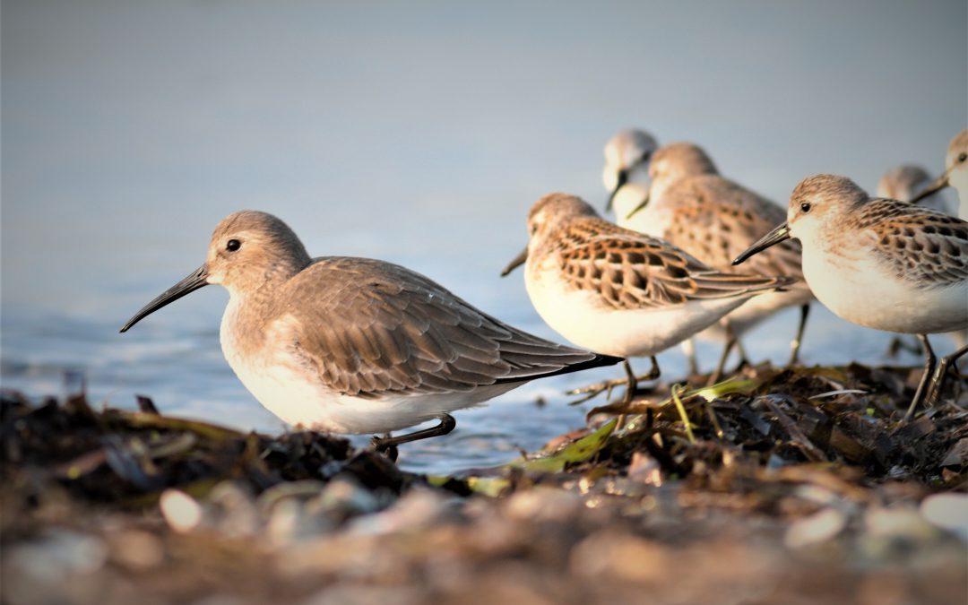 Hemisphere-wide collaboration to further understanding of migratory shorebird declines