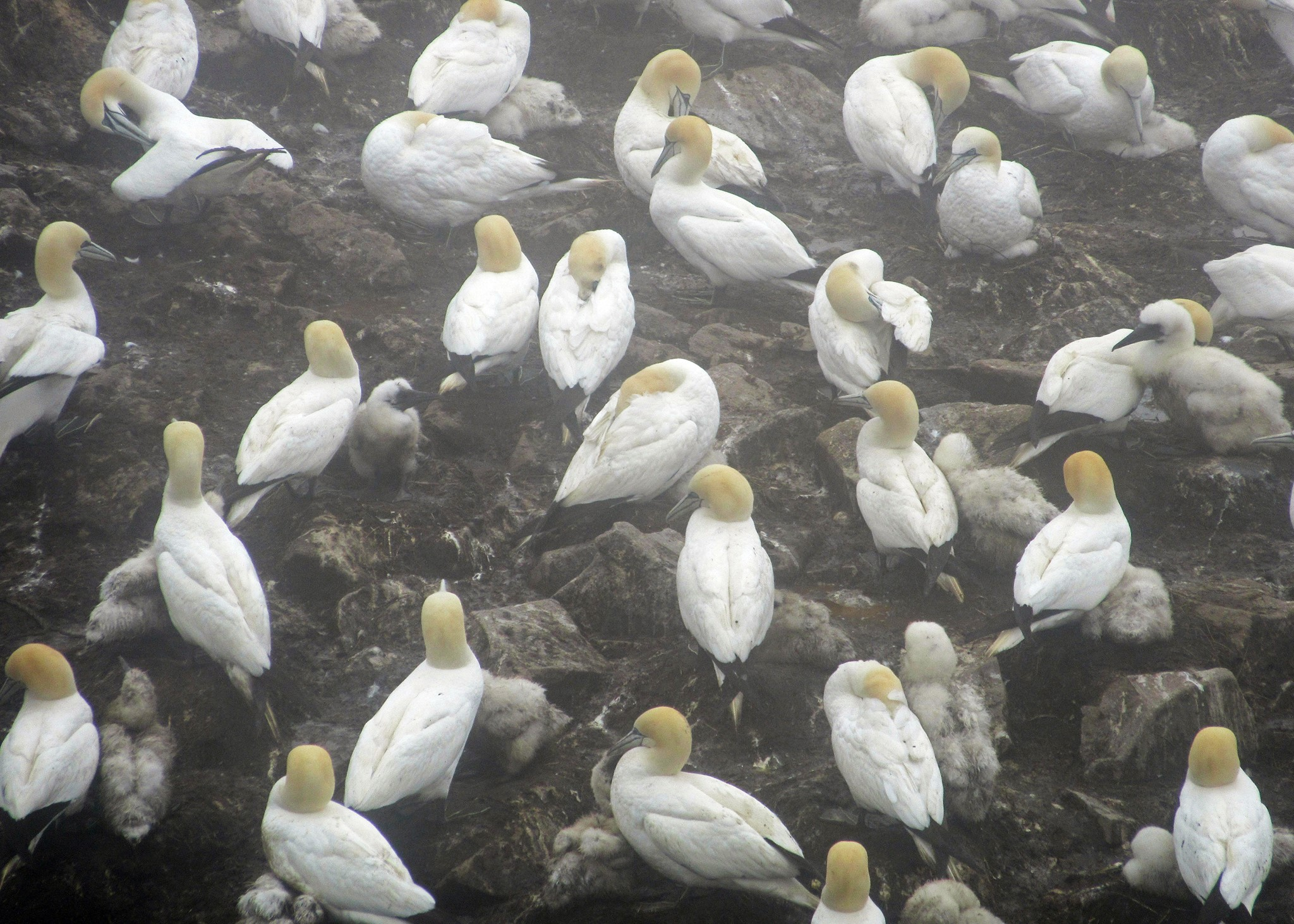 A Northern Gannet nesting colony at an Important Bird Area