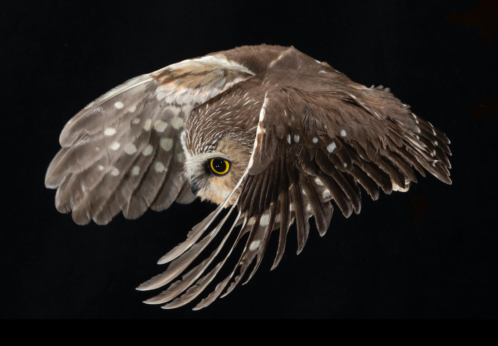A Northern Saw-whet Owl