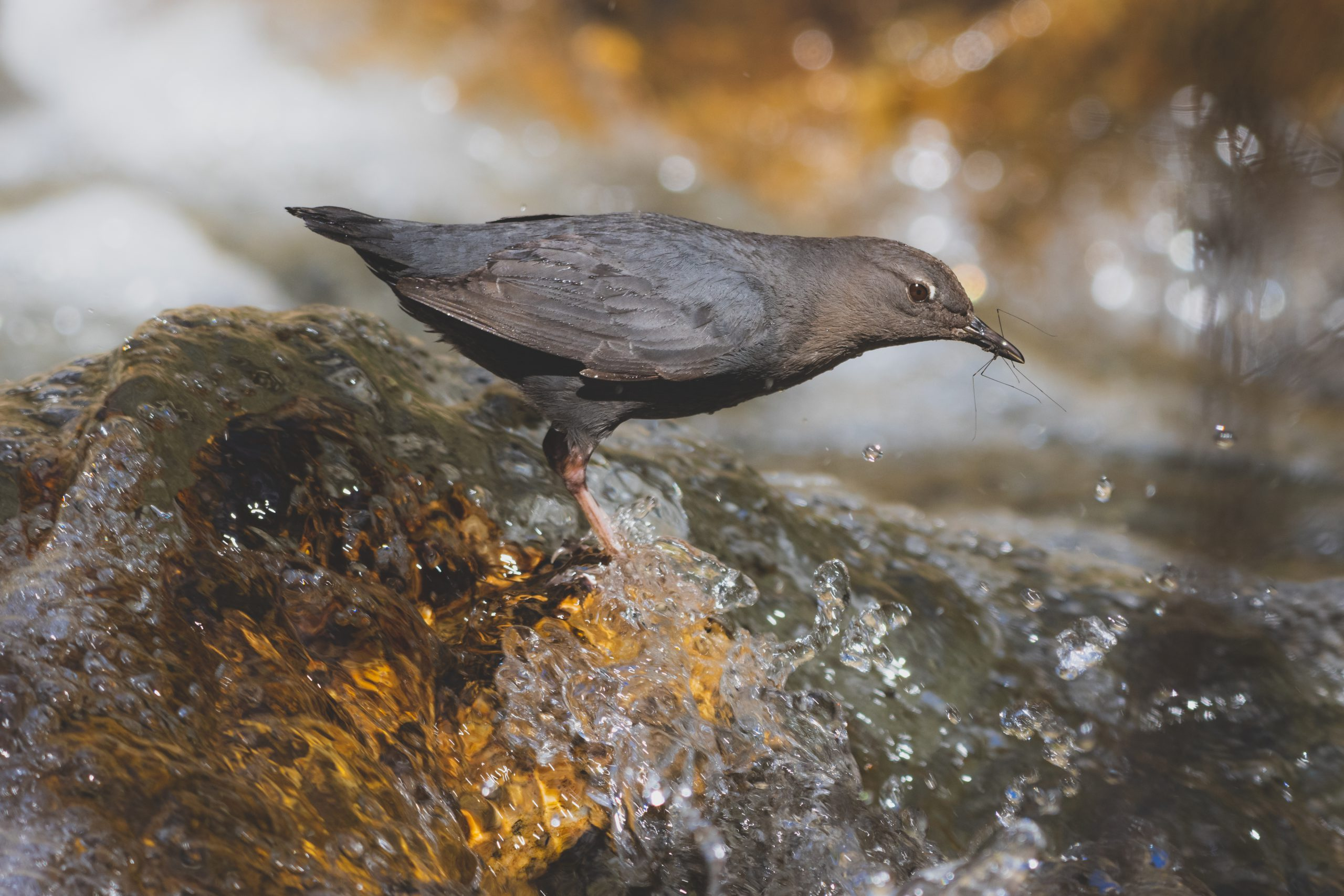 American Dipper in a river with food.