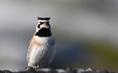 How will climate change and extreme weather impact alpine breeding birds?