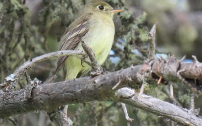 A flycatcher surprise and other Saskatchewan Atlas highlights for 2020