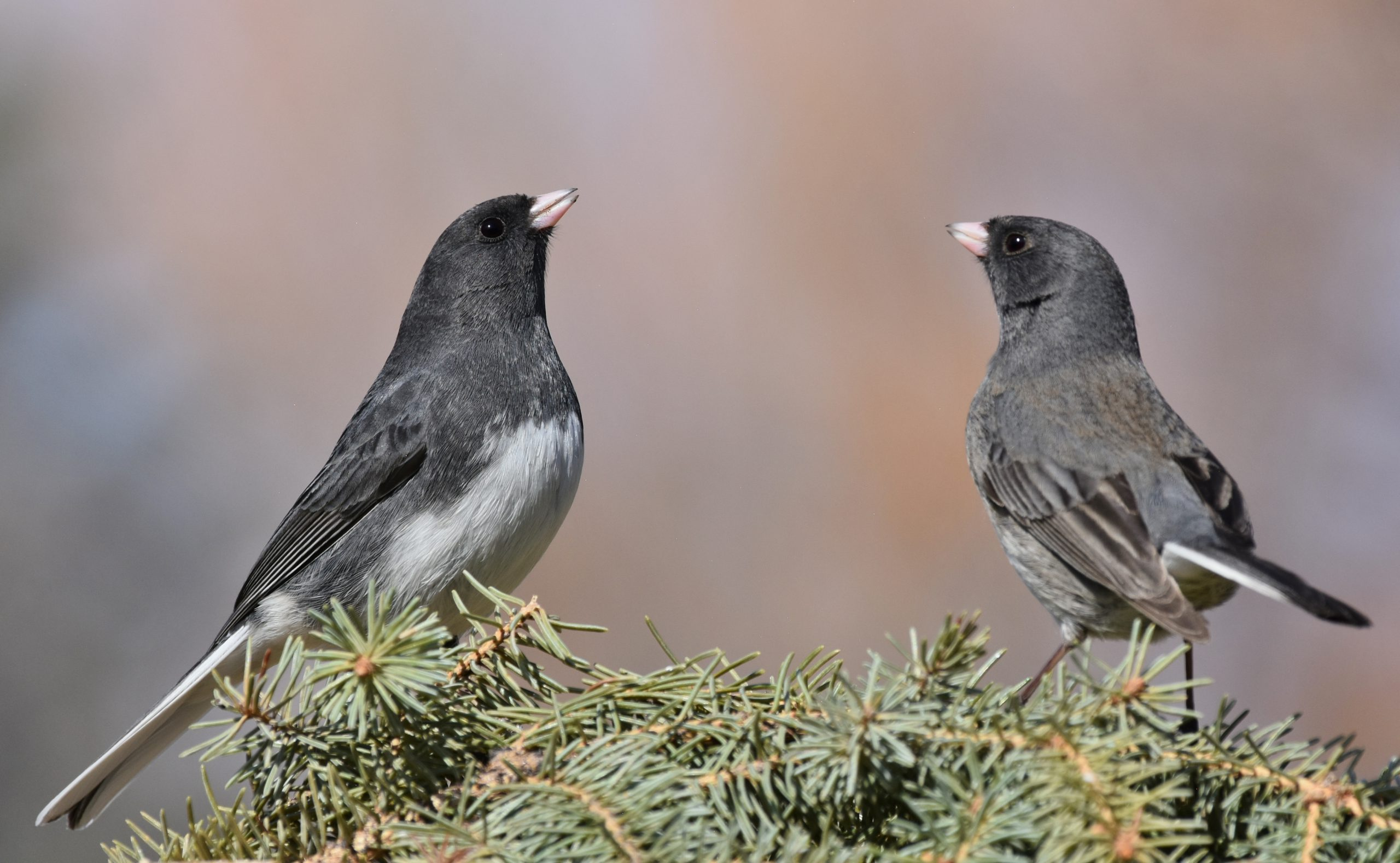 Two Dark-eyed Juncos on a top of a coniferous tree.