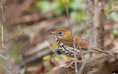 2020 Red List includes updates on forest songbirds and iconic raptors