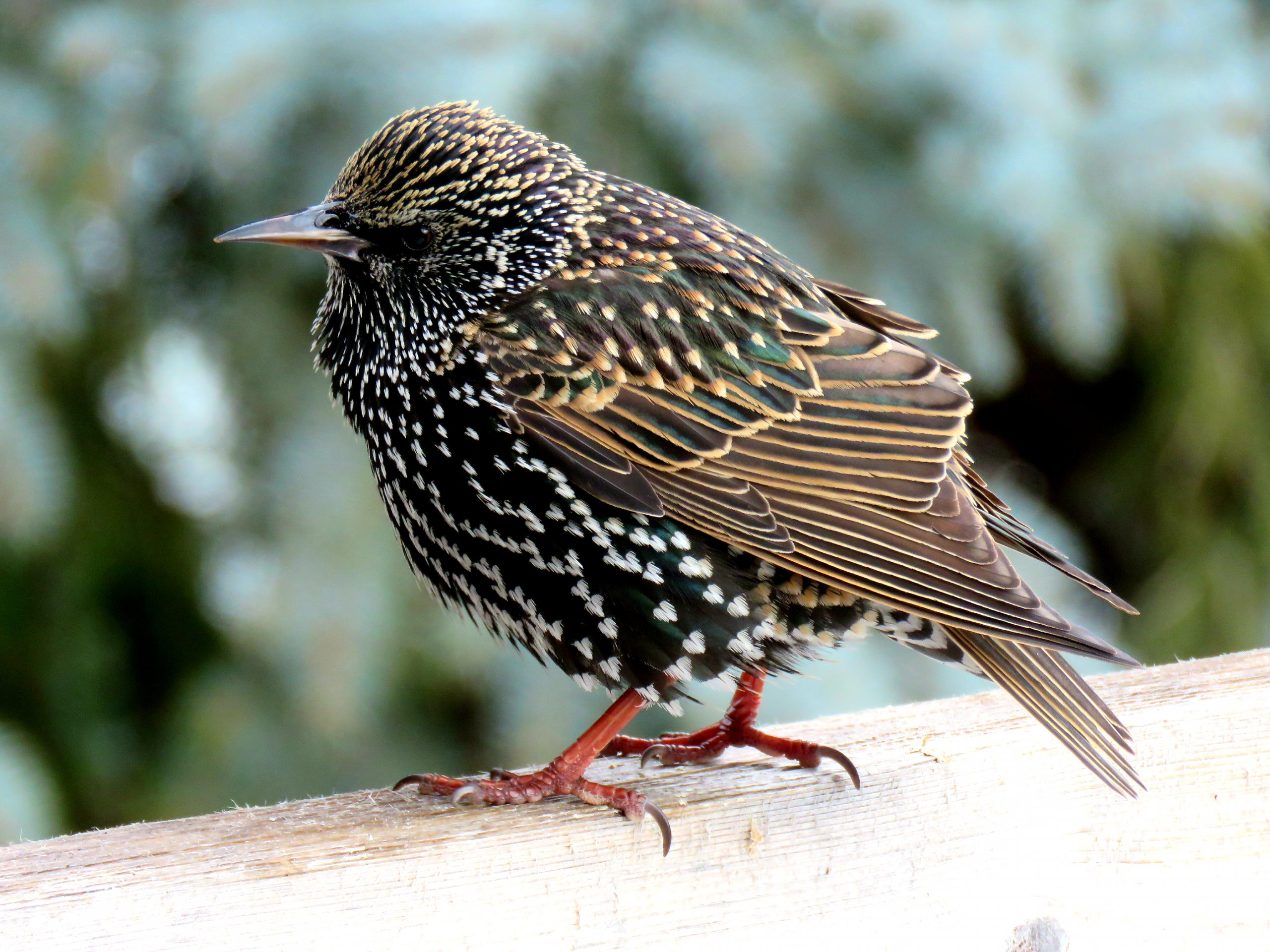 A European Starling on a fence