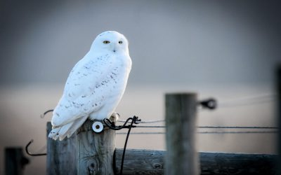 Owl observation tips for birders and photographers