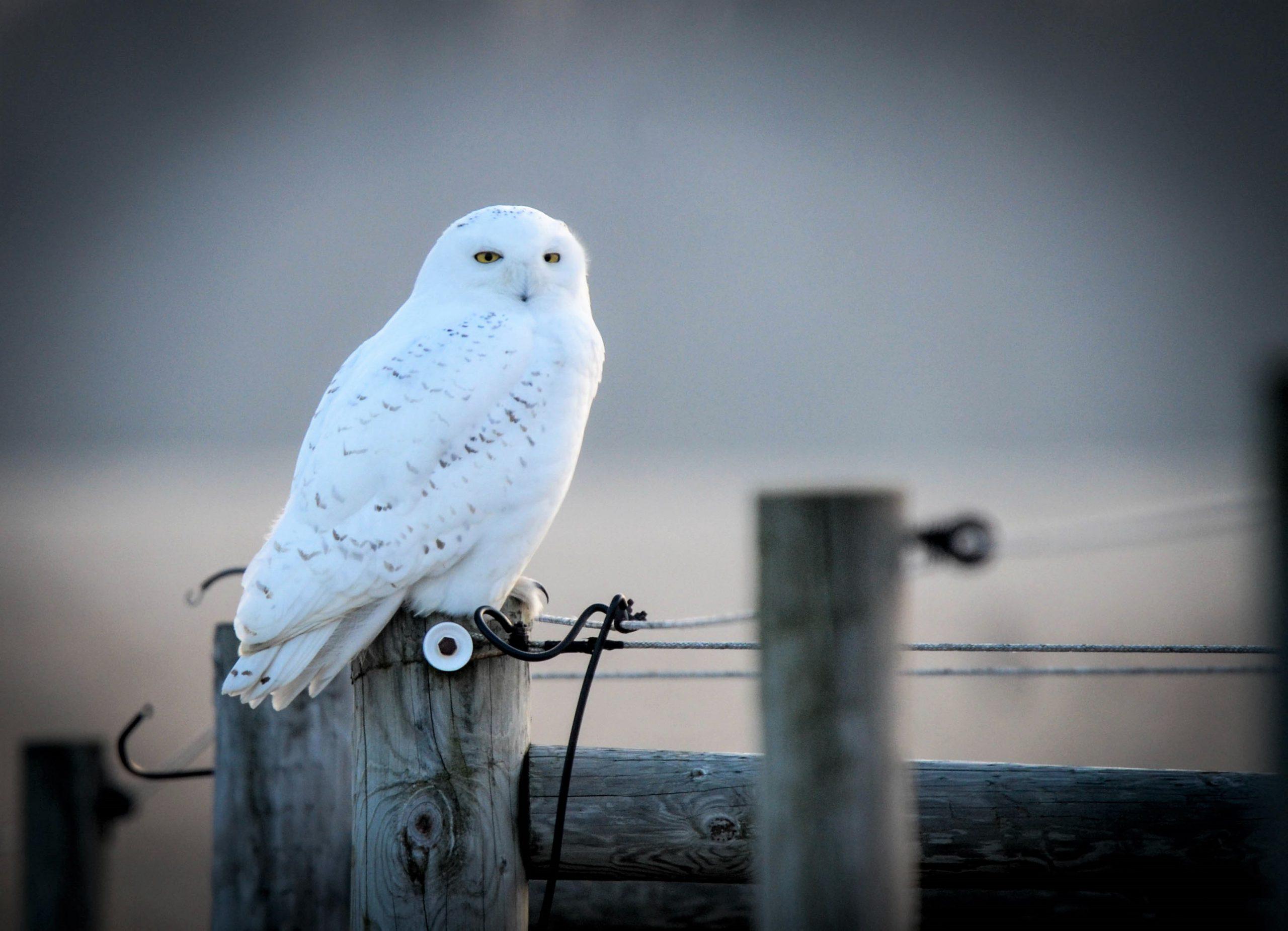 A snowy owl on a post.