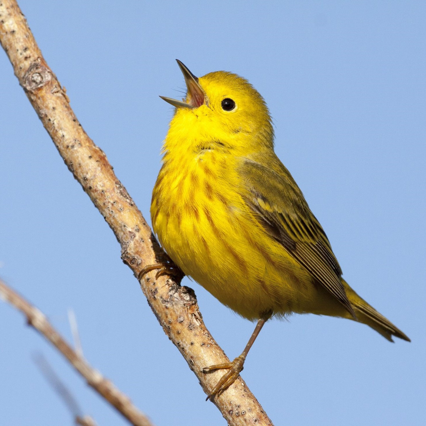 A small yellow bird sings with a puffed chest and a white open beak